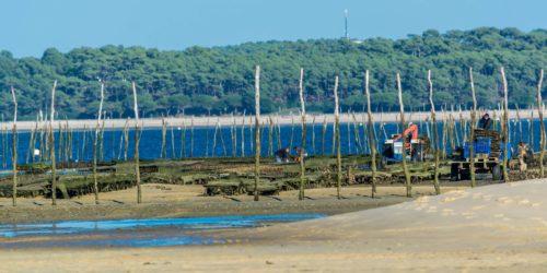 Ramassage des huîtres au Cap-Ferret,Nouvelle-Aquitaine, France.